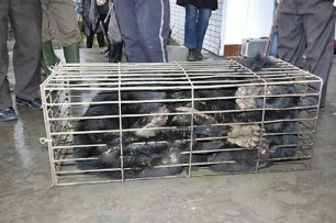 Wildlife - Bear bile 05